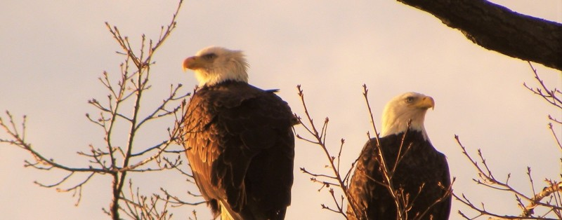 eagle pair from Scott Stilson unretouched